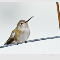 hummingbird_DL_20111010_DSC8580