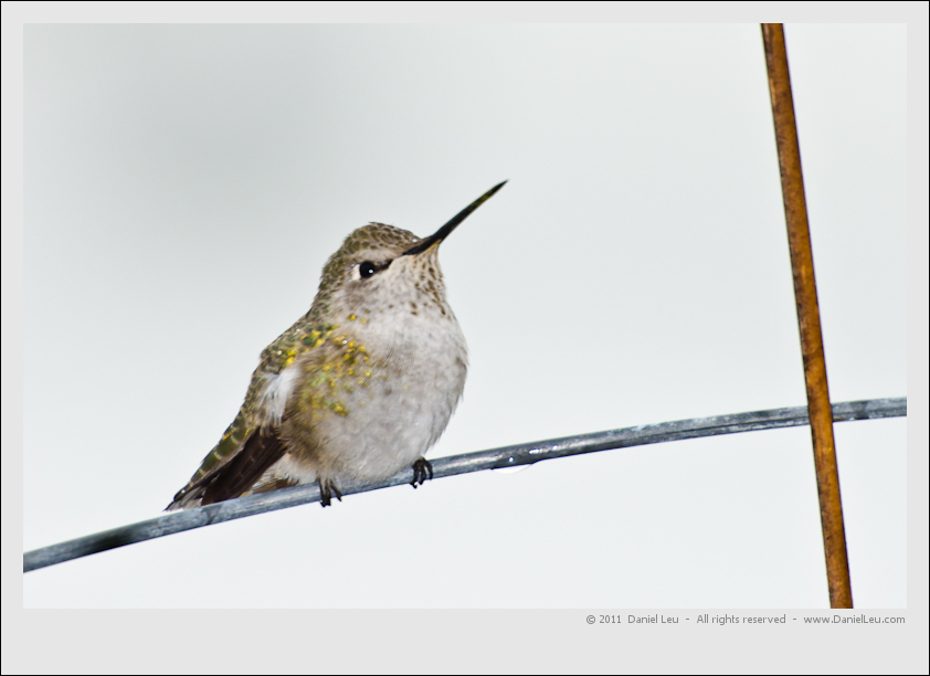 hummingbird_DL_20111010_DSC8580