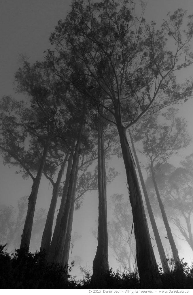 Eucalyptus tees in the fog