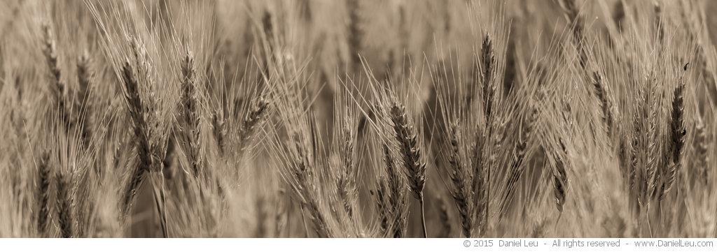 Barley #1