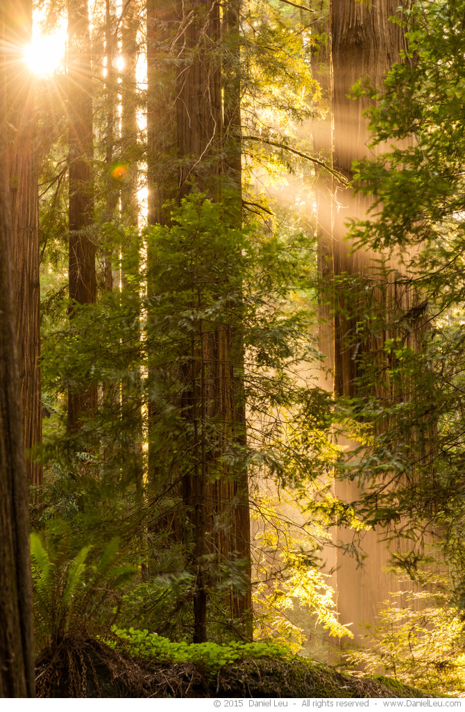 Redwoods at Sunrise
