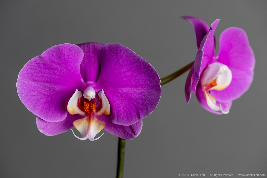 Image of two fuchsia orchid flowers