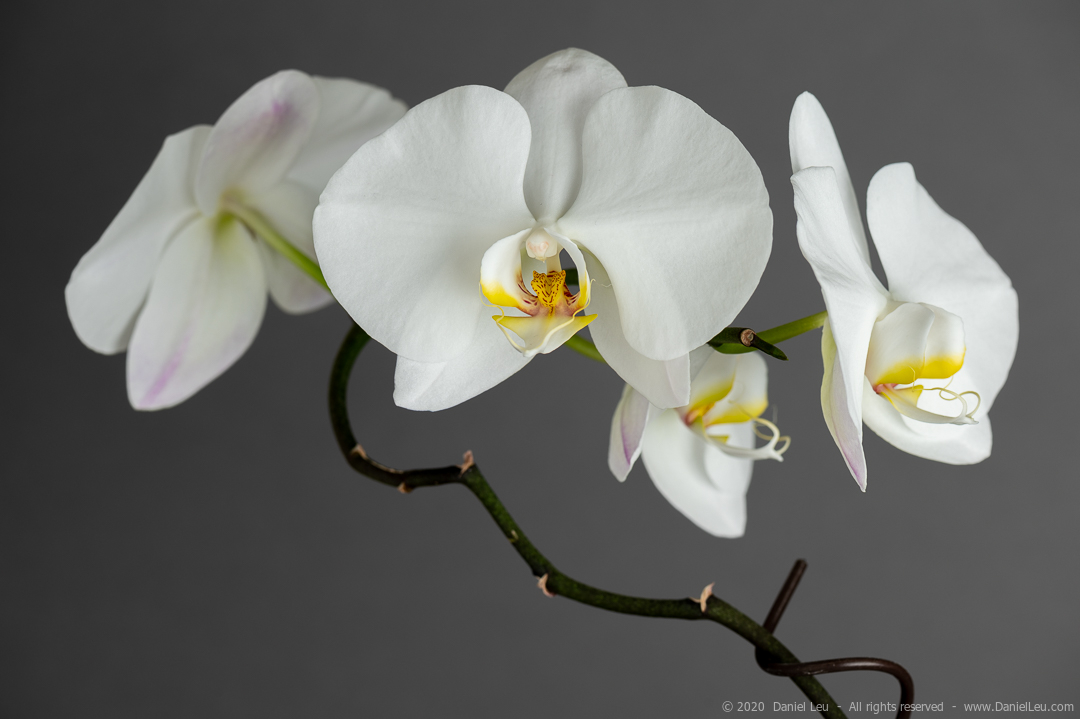 A orchid branch with several white flowers
