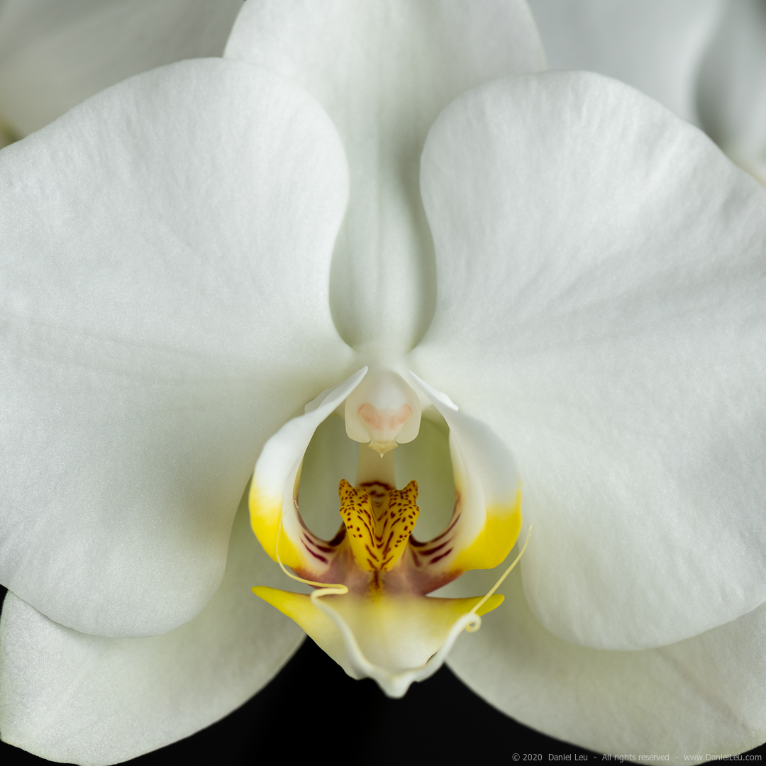 Close up of white orchid flower