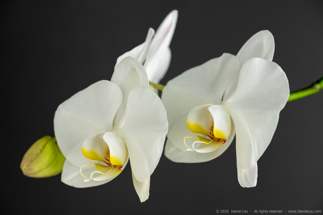 Image of two white orchid flowers