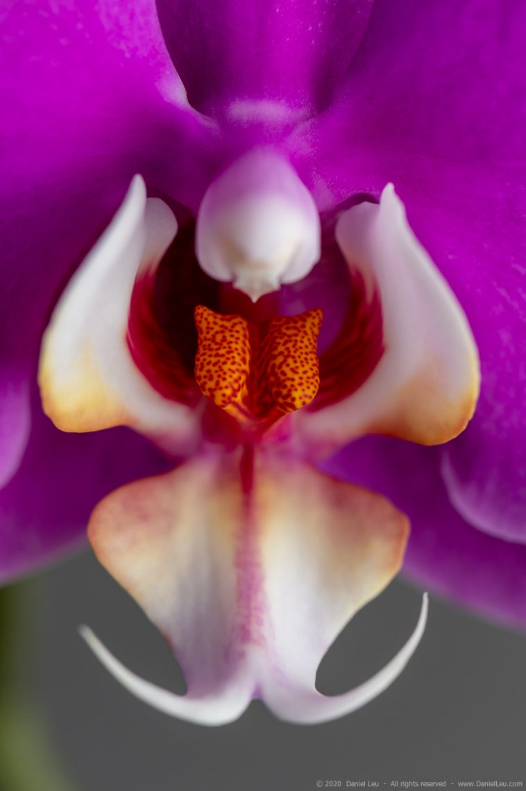 Close-up of fuchsia orchid flower
