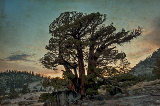 DL_20160820_DSC1488-ME-2-Yosemite-Juniper-Tree.jpg