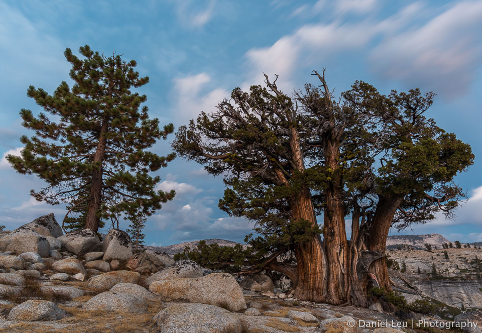 Jeffrey Pine and Western Juniper at Dusk