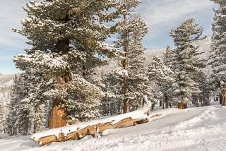 DL_20161225_DSC5150-lake-tahoe-pine-tree-snow.jpg