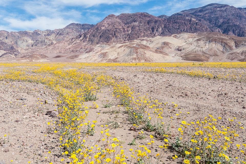 DL_20160227_DSC4392_Death_Valley_Wildflowers.jpg
