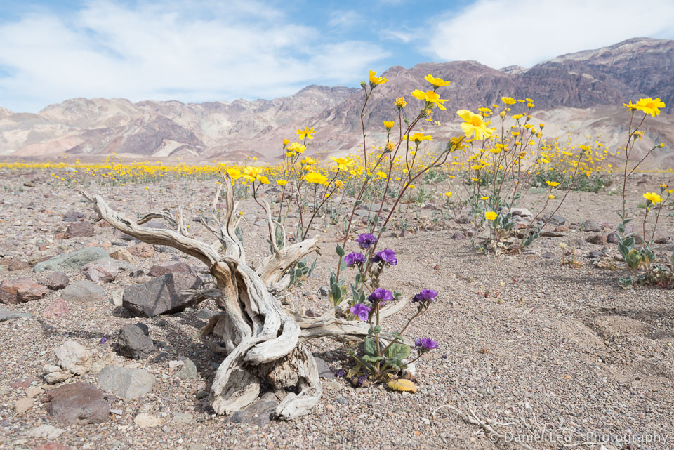 DL_20160227_DSC4409_Death_Valley_Wildflowers.jpg