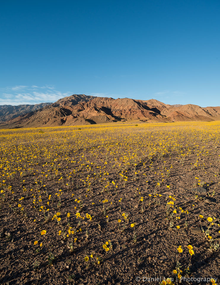 DL_20160227_DSC4483-Pano_Death_Valley_Wildflowers.jpg