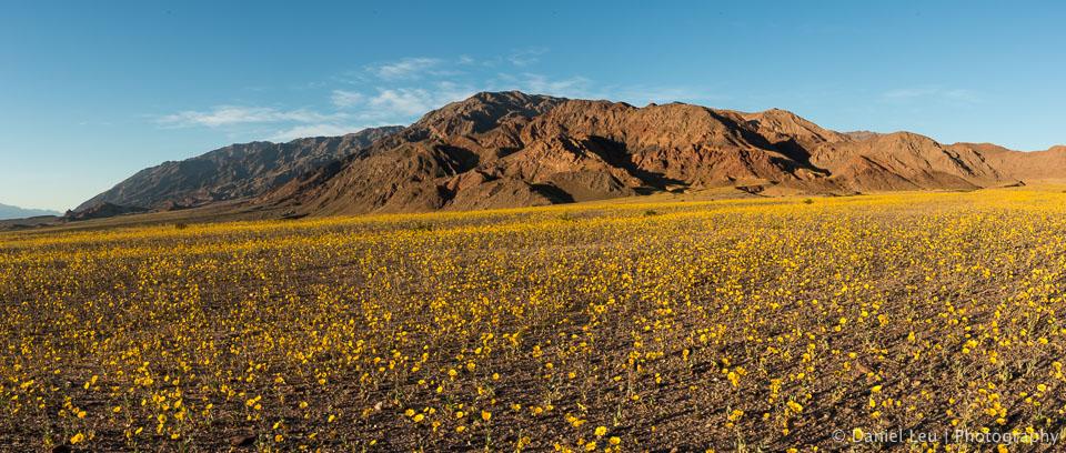 DL_20160227_DSC4487-Pano_Death_Valley_Wildflowers.jpg