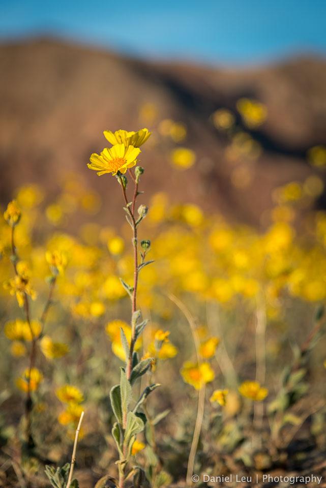 DL_20160227_DSC4498_Death_Valley_Wildflowers.jpg