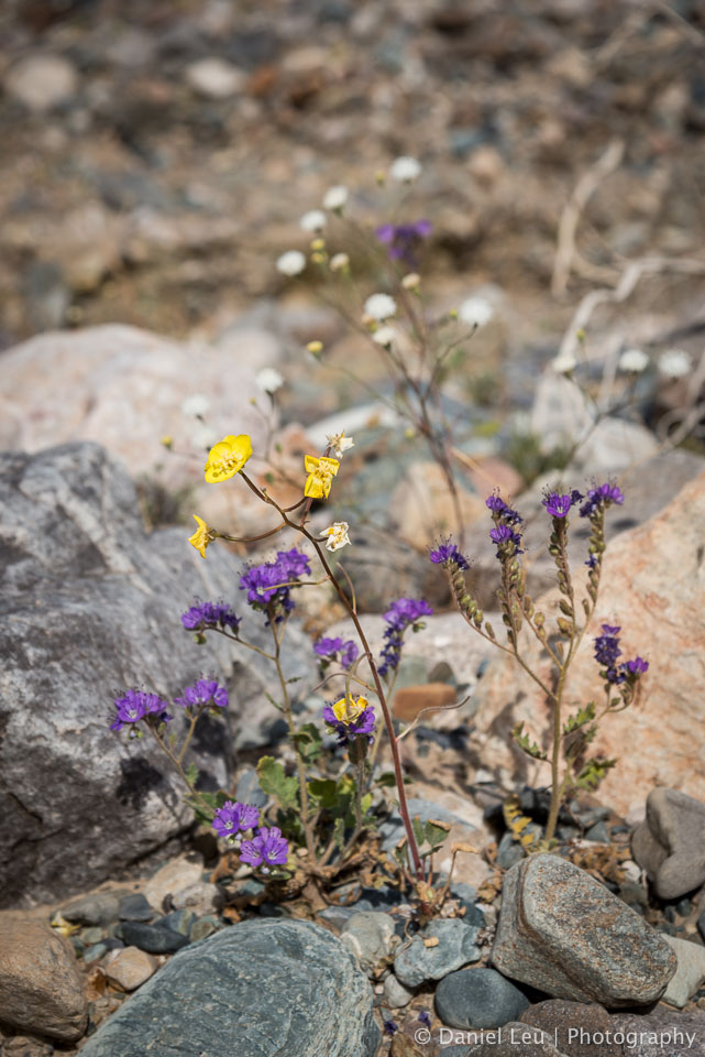 DL_20160228_DSC4566_Death_Valley_Wildflowers.jpg