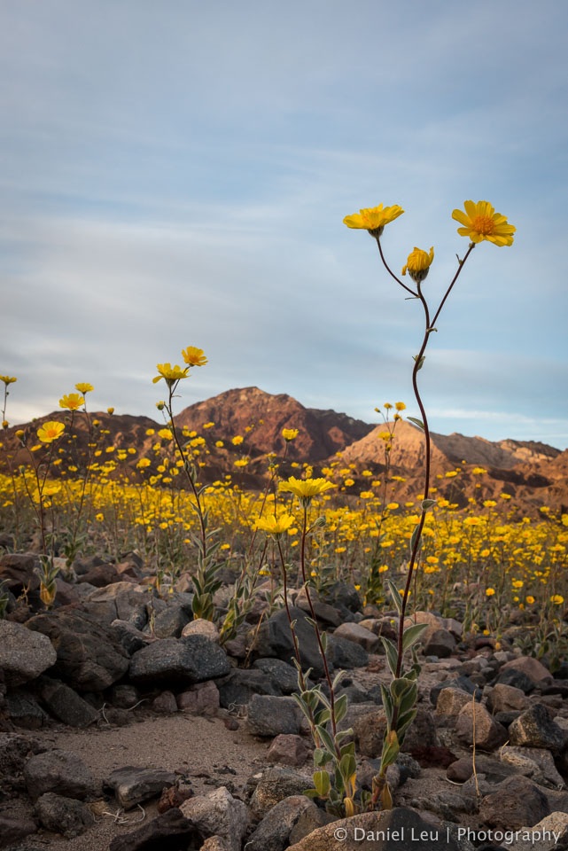 DL_20160228_DSC4591_Death_Valley_Wildflowers.jpg