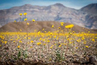 DL_20160227_DSC4360_Death_Valley_Wildflowers.jpg