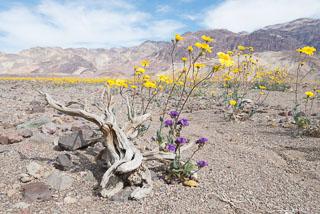 DL_20160227_DSC4409_Death_Valley_Wildflowers.jpg