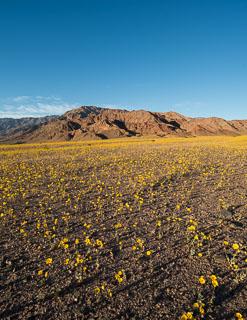 DL_20160227_DSC4483-Pano_Death_Valley_Wildflowers.jpg