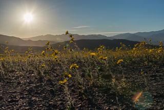 DL_20160227_DSC4500_Death_Valley_Wildflowers_v1.jpg