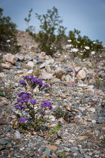 DL_20160228_DSC4525_Death_Valley_Wildflowers.jpg