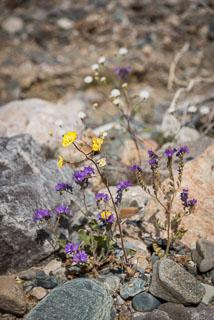 DL_20160228_DSC4566_Death_Valley_Wildflowers.jpg