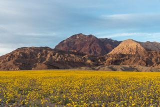 DL_20160228_DSC4588_Death_Valley_Wildflowers.jpg