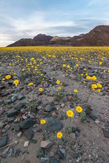DL_20160228_DSC4656_Death_Valley_Wildflowers.jpg