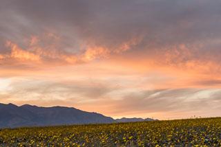 DL_20160228_DSC4668_Death_Valley_Wildflowers.jpg