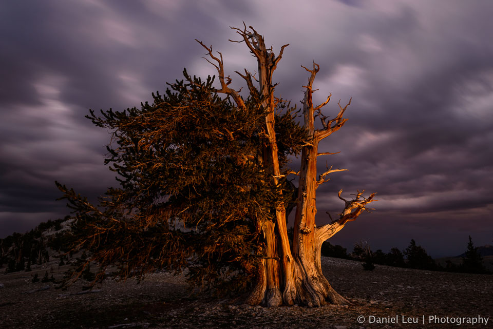 Bristlecone Pine after Sunset