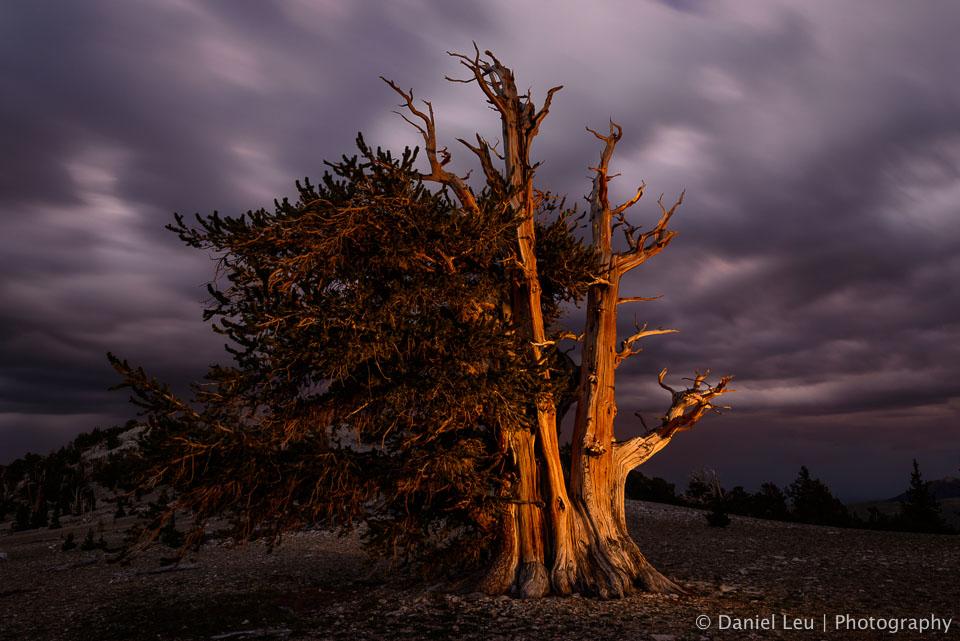 Bristlecone Pine after Sunset