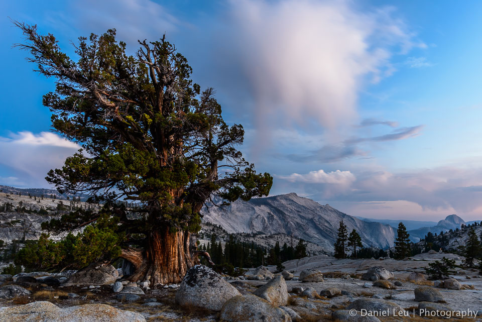 Juniper Tree with Half Dome