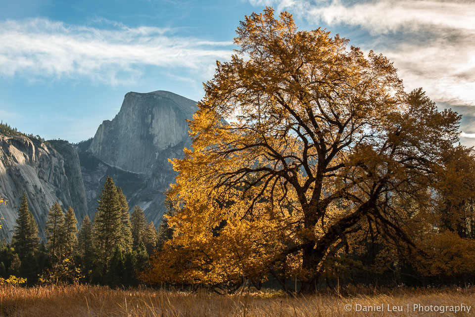 This shot was taken from Cooks Meadow in Yosemite Valley. The elm tree spots beautiful fall colors and is side-lit by the sun.  http://blog.leu.org/2012/11/yosemite-valley-fall-colors.html  © 2012 Daniel Leu, All rights reserved, http://www.DanielLeu.com